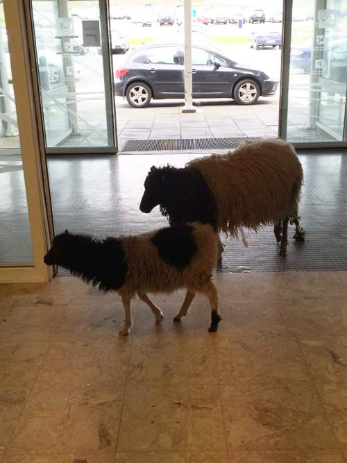sheepvagar1